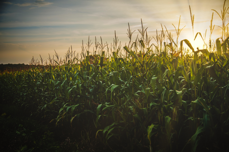 Поле кукурудзи