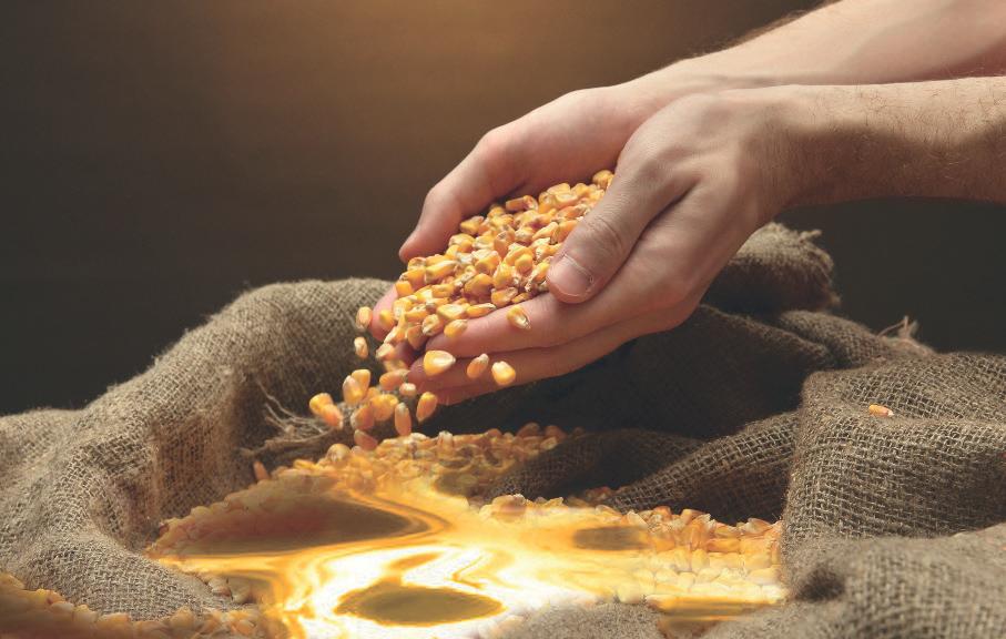 Кукурузное зерно как золото